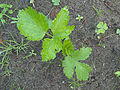 Pastinaca sativa subsp. sativa young plant, pastinaak jonge plant (2).jpg