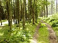 Path, Tentsmuir Forest - geograph.org.uk - 1450091.jpg