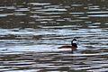 Pato Tepalcate, Ruddy Duck, Oxyura jamaicensis (9498602462).jpg