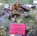 Paxillus involutus - Pilzausstellung Rostock 2015.jpg
