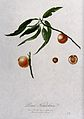 Peach (Prunus species); fruiting branch with halved fruit an Wellcome V0043139.jpg
