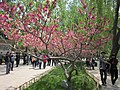 Peach blossoms, Old Summer Palace.jpg