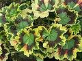 Pelargonium zonale a1.jpg