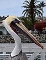 Pelican Portrait (15902317885).jpg