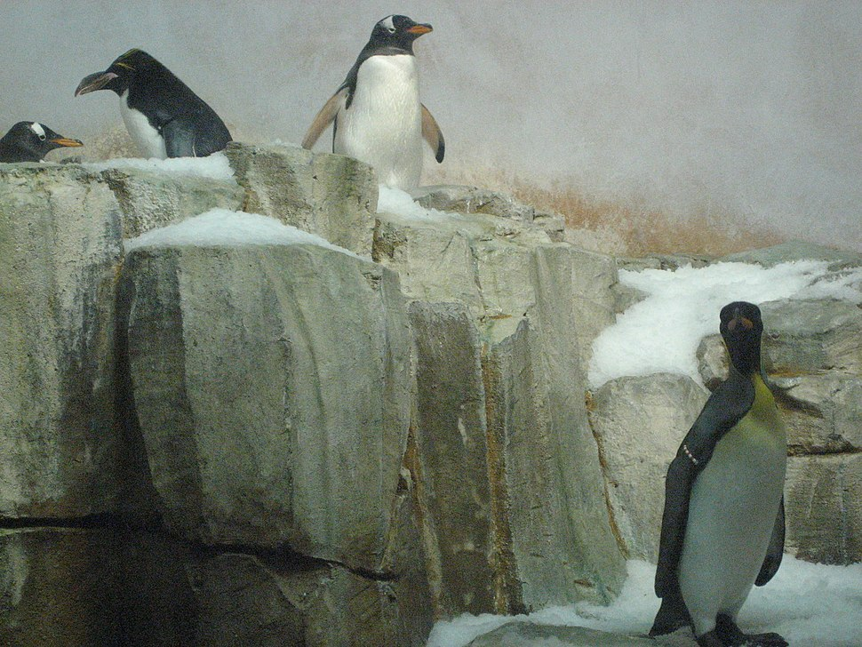 Penguin in Captivity