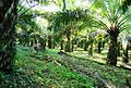 Perkebunan kelapa sawit milik rakyat (84).JPG