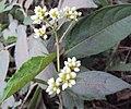 Persicaria chinensis 18.JPG