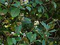 Persicaria chinensis var. ovalifolia (6368759259).jpg