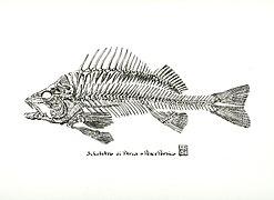 Pesce Persico.jpg