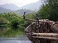Phalacrocorax brasilianus (Biguá) - Rio Cubatão do Sul - SC - Brasil.jpg