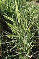 Phalaris arundinacea Variegata kz1.jpg