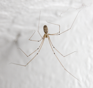 Pholcus phalangioides.png