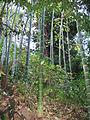 Phyllostachys edulis Moso Bamboo ბამბუკი.JPG