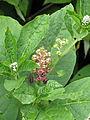 Phytolacca acinosa (15132020002).jpg