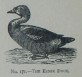 Picture Natural History - No 171 - The Eider Duck.png
