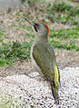 Picus viridis sharpei 078.jpg