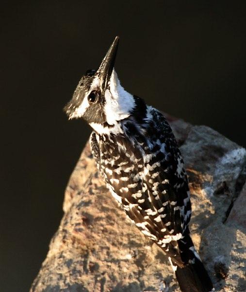 Pied Kingfisher I IMG 9609