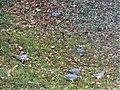 Pigeons ramiers Périgueux (4).jpg