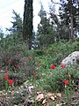 PikiWiki Israel 13380 Tulips in Jerusalem forest.JPG
