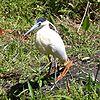Pilherodius pileatus -near pond-6