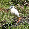 Pilherodius pileatus -near pond-6.JPG