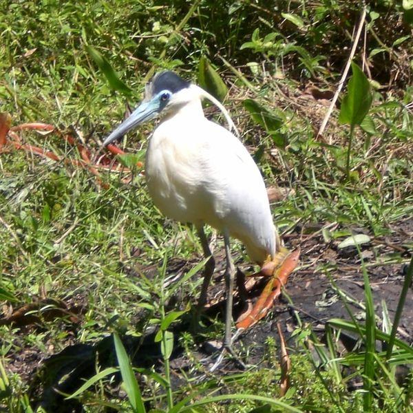 Ficheiro:Pilherodius pileatus -near pond-6.JPG