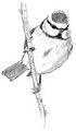 Pimpelmees Cyanistes caeruleus Jos Zwarts 7.tif