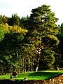 Pine And Bench - panoramio.jpg