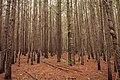 Pine Forest (8225402534).jpg