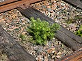 Pine sapling on Lysekil line.jpg
