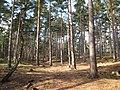 Pine woods - geograph.org.uk - 1758185.jpg