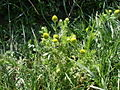 Pineapple Mayweed - Chamomilla suaveolens - geograph.org.uk - 1165573.jpg