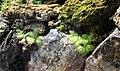 Pinguicula moranensis Liberec 1.jpg