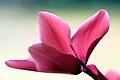 Pink Cyclamen flower.jpg