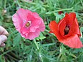 Pink and red poppies.jpg