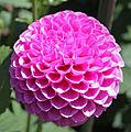 Pink button Dahlia (4264212679).jpg