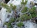 Pinus edulis sapling.jpg
