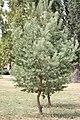 Pinus sylvestris (2).jpg
