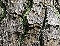 Pinus taeda CG 2 NBG LR.jpg