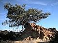 Pinus torreyana2.jpg