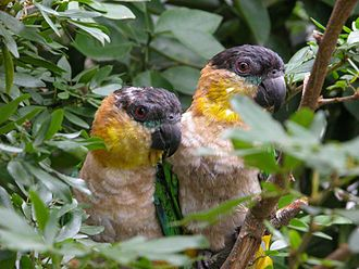 Black-headed parrot - Brown-stained breast plumage is characteristic of wild birds.