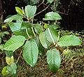 Piper colubrinum 09.JPG