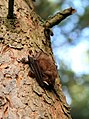 Pipistrelle bat (^), Langlands Plantation - geograph.org.uk - 1093164.jpg