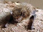Pipistrellus nathusii.jpg