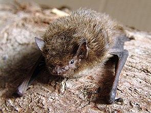 Rauhhautfledermaus (Pipistrellus nathusii)