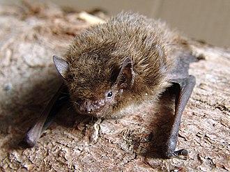 Nathusius's pipistrelle - Image: Pipistrellus nathusii