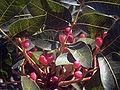 Pistacia terebinthus SierraMadrona1.jpg