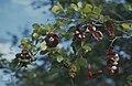 Pithecellobium unguis cati. Mathewtown (27093768449).jpg