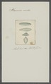Planaria viridis - - Print - Iconographia Zoologica - Special Collections University of Amsterdam - UBAINV0274 105 09 0014.tif