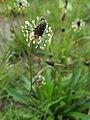Plantago lanceolata Babka lancetowata 2020-06-07 02.jpg